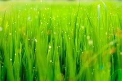 Langes Gras mit Tautropfen des warmen Sonnenlichts Lizenzfreies Stockbild