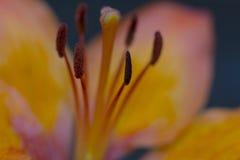 Langes Haar der Makroblume mit orange Lilie des Blütenstaubs oder japanischer goldener ausgestrahlter Lilie Stockfotos