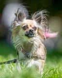 Langes Pelz Chihuahuaporträt mit den großen Ohren und einem rosa Endstück lizenzfreie stockbilder