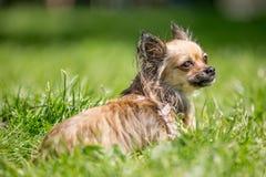 Langes Pelz Chihuahuaporträt mit den spitzen Ohren, die zurück über seiner Schulter schauen stockbild