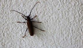 Langes Schnurrbartinsekt auf der weißen Wand stockbild