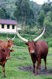 Langhörnige Kühe des Masisi stockfotografie
