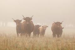 Langhörniger Nebel des Viehs morgens Stockbilder