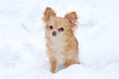 Langhaarige Chihuahua des Welpen Stockfoto