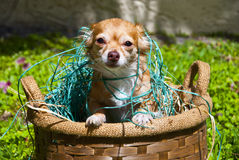 Langhaarige Chihuahua, herausspringend aus Korb heraus Stockfoto