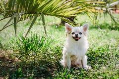 Langhaarige Chihuahua sitzen unter der Palme und verstecken sich von der Sonne am heißen Sommertag stockbild