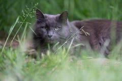 Langhaarige graue Katze, die in das Gras legt lizenzfreie stockfotos