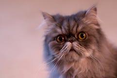 Langhaarige Katze mit neugierigem Blick Stockfotos