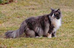 Langhaarige norwegische Waldkatzenfrau lizenzfreie stockfotografie