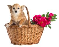 Langhaarige rothaarige Chihuahua in einem Korb mit Blumen lizenzfreies stockfoto