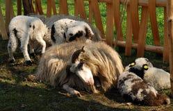 Langhaarige Schafe in der Feder Lizenzfreies Stockfoto