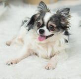 Langhaariger Chihuahua-Hund auf helles Textildekorativem gefälschtem Pelz-Mantel Stockbilder
