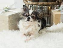 Langhaariger Chihuahua-Hund auf helles Textildekorativem gefälschtem Pelz-Mantel nahe Weidenkorb und Weihnachtsgeschenken Stockfotos