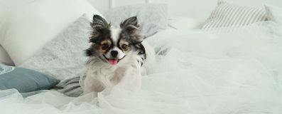 Langhaariger Chihuahua-Hund auf helles Textildekorativem Mantel für ein modernes Bett im Haus oder im Hotel Lizenzfreies Stockbild