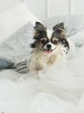 Langhaariger Chihuahua-Hund auf helles Textildekorativem Mantel für ein modernes Bett im Haus oder im Hotel Lizenzfreie Stockbilder