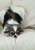 Langhaariger Chihuahua-Hund auf helles Textildekorativem Mantel für ein modernes Bett im Haus oder im Hotel Lizenzfreie Stockfotos