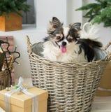 Langhaariger Chihuahua-Hund auf Weidenkorb Weihnachtsdekorationen im Raum Stockfotografie