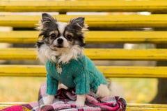 Langhaariger Chihuahuahund, der auf der Bank sitzt Stockfotos