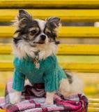 Langhaariger Chihuahuahund, der auf der Bank sitzt Stockfotografie