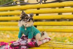 Langhaariger Chihuahuahund, der den blauen Pullover sitzt auf gelber Bank mit rosa kariertem Plaid trägt Stockbilder