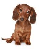 Langhaariger Dachshundhund Lizenzfreie Stockbilder