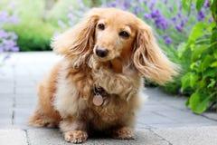 Langhaariger Dachshundhund draußen im Sommer Lizenzfreie Stockfotos