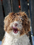 Langhaariger Hund Lizenzfreies Stockbild