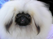 Langhaariger kleiner weißer Hund Stockfotos