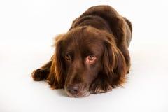 Langhaariger Zeigerhund Browns stockfotografie