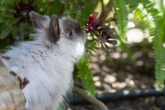Langhaariges Kaninchen stockbild
