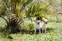 Langhaariges und kurzhaariges Lächeln mit zwei Chihuahua Hundeund Verstecken von der Sonne unter Palme auf grünem Gras am heißen  lizenzfreies stockfoto