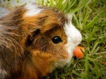 Langhaarmeerschweinchen 2 Stockfotografie