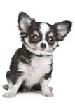 Langharig chihuahuapuppy Stock Afbeelding