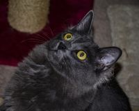 Langharig Gray Cat Looking Up Inside stock fotografie
