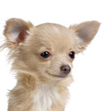 Langharige chihuahua royalty-vrije stock fotografie