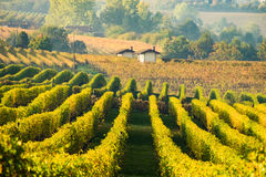 Langhe小山的葡萄园在秋天期间 库存图片