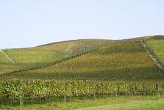 Langhe小山的葡萄园  库存图片