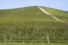 Langhe小山的葡萄园  免版税库存图片