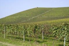Langhe小山的葡萄园  免版税库存照片
