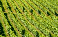 Langhe, виноградники Стоковое Изображение