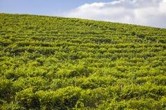 Langhe, Barolo vineyards summer panorama. Color image Royalty Free Stock Photo