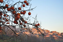 Langhe and Roero region landscape, persimmon fruit tree, Piemonte Stock Photos