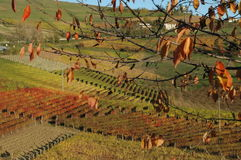 Langhe vineyards. This is a world well known place for wine production, in Piedmont, Italy. Red autumn vineyards and leaves tree stock images