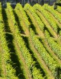 Langhe, vineyards Royalty Free Stock Photos