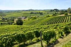 Langhe vingårdar Royaltyfria Bilder