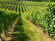 Langhe, wijngaarden Stock Afbeeldingen