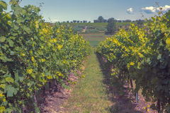 Langhewijngaarden en heuvels in de zomer Royalty-vrije Stock Foto