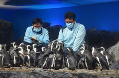 Aquarium workers in masks feed penguins and keep records. Two men in blue uniforms surrounded by many penguins stock images