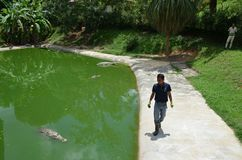 Langkawi, Malaysia - April 25, 2017: Workers are preparing to feed crocodiles at a crocodile farm. A man walks along the shore royalty free stock image