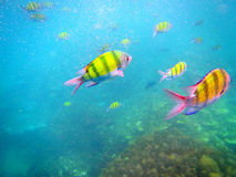 Langkawi tiger fish in the sea Royalty Free Stock Images